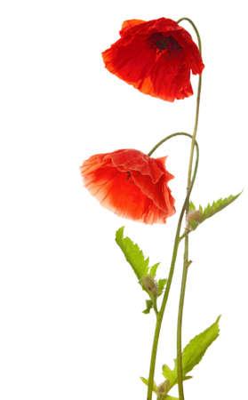 piros pipacsok elszigetelt fehér Stock fotó