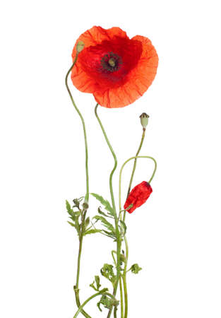 poppy flowers: red poppies  isolated  on white