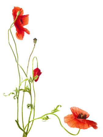 red poppies isolated on white  studio shot Stock Photo
