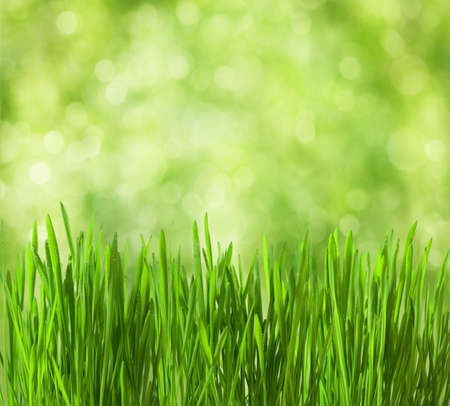 fresh spring grass with drops on defocused light green background   photo