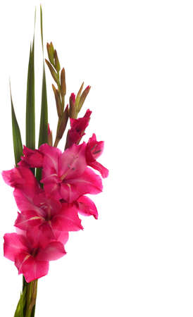 pink gladiolus isolated on white background photo