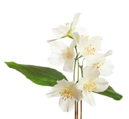 jasmine flower: jasmine blossom   isolated on white