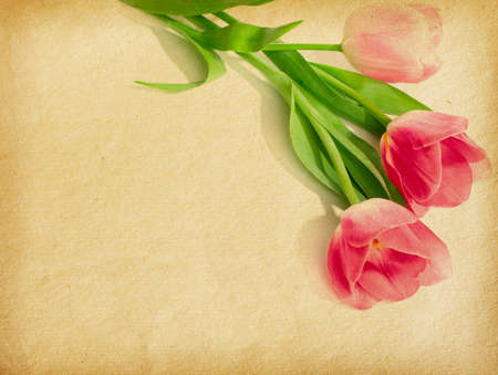 old paper textures with three pink tulips photo