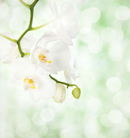 white orchid: White orchid on defocused light  green background  selective focus