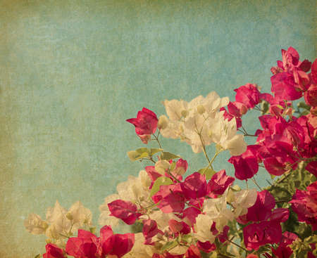 bougainvillea: Bush of Bougainvillea flowers   in retro style