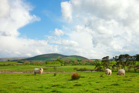 English countryside. Sheep Pastures in the English Lake District, Cumbria.. spring. Stock Photo - 14493798