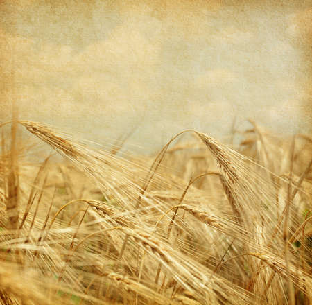 Texture of old paper.  field of wheat. photo