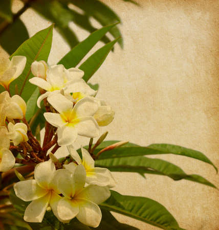 old paper with tropical flowers. Plumeria