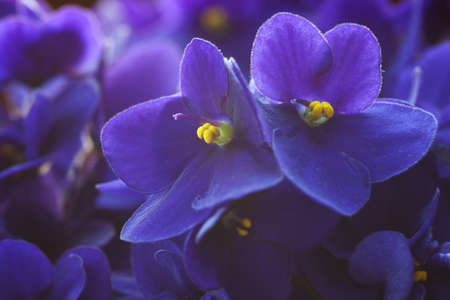 violets: violet flowers  a very shallow depth of field, focus on the right flower  Stock Photo
