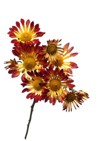 chrysanthemum isolated on white background photo