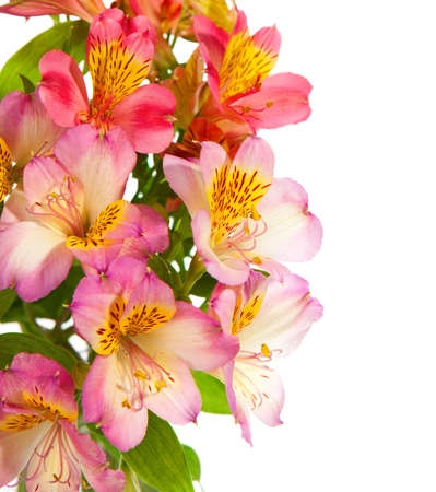 alstroemeria: Bouquet of Alstroemeria flowers isolated on white background. Focus on the foreground Stock Photo