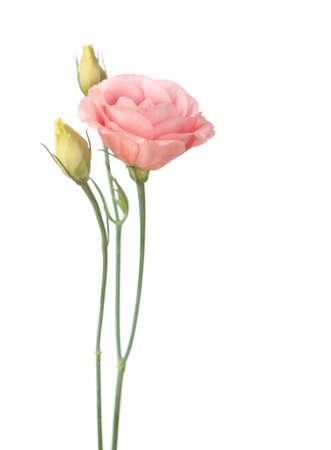 flores de cumpleaños: flores de color rosa aisladas sobre fondo blanco. eustoma