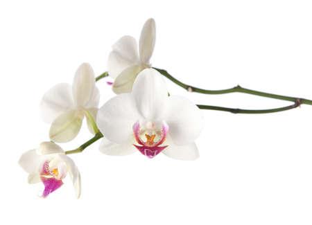 orchidee: orchidea bianca isolato su bianco Archivio Fotografico