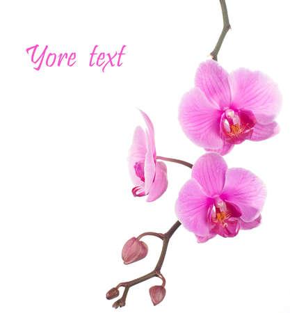 rózsaszín orchidea, fehér háttér Stock fotó