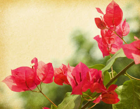 old paper with Bush of Bougainvillea flowers  photo