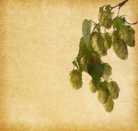 humulus lupulus:  hops branch on old paper background  Humulus lupulus Stock Photo