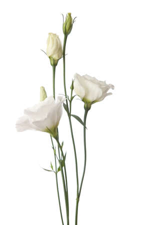 white  flowers isolated on white. eustoma