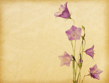 Grunge old paper with bluebells  Campanula photo