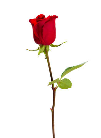 white rose: Red rose isolated on white background