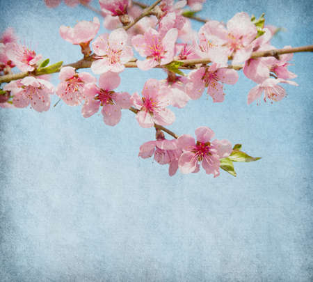 peach tree: grunge paper with peach blossom