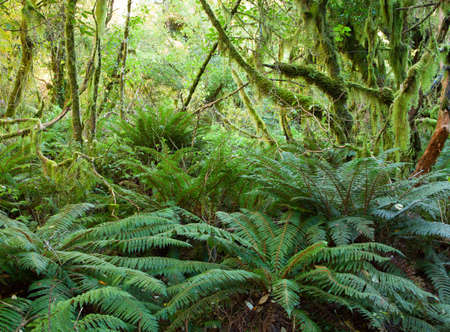 temperate: Temperate rain forest with  Fern , Fiordland National Park, South Island , New Zealand Stock Photo