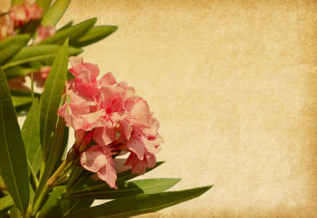 Old paper with pink flowers. Oleander  photo