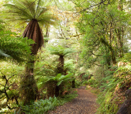 temperate: Te Urewera Treks.   Temperate rain forest with  Fern trees, Te Urewera National Park, North Island, New Zealand