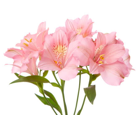 orange lily: Pink flowers isolated on white. alstroemeria