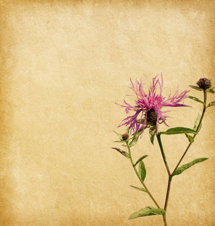 herbaceous border: Old worn paper with Brown Knapweed
