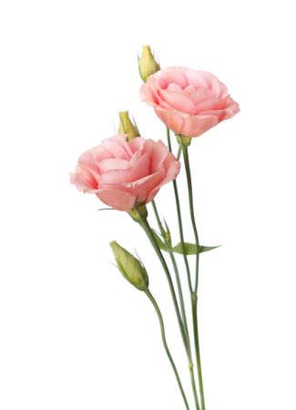 白のトルコギキョウに分離したピンクの花 写真素材