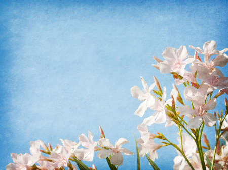 Light pink  flowers of oleander  on blue paper background photo