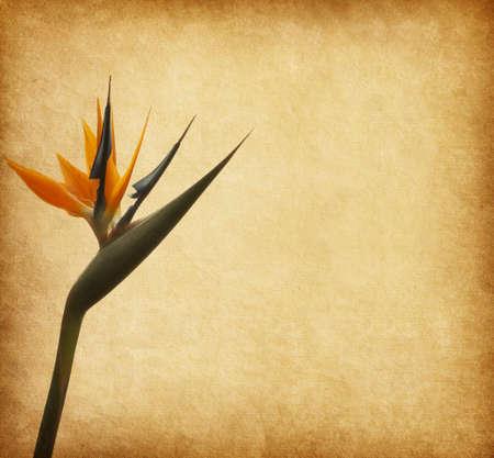 ave del paraiso: papel viejo con el pájaro de Paradize flor Strelitzia Foto de archivo