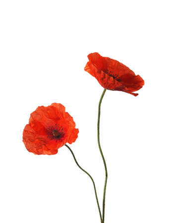 two object: Two red poppies isolated on white