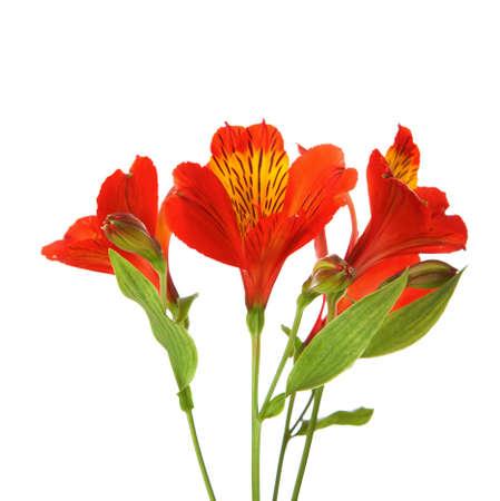 Three flowers of  Alstroemeria  isolated on white background  photo