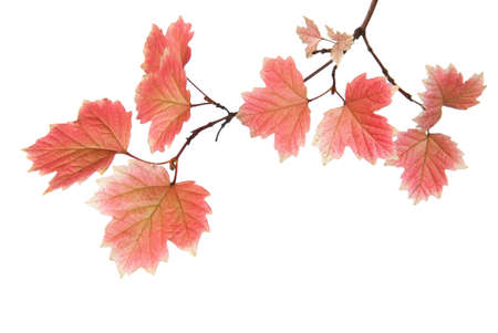 Branch of autumn leaves isolated on a white background