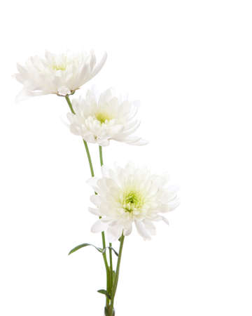Three chrysanthemums isolated on white background