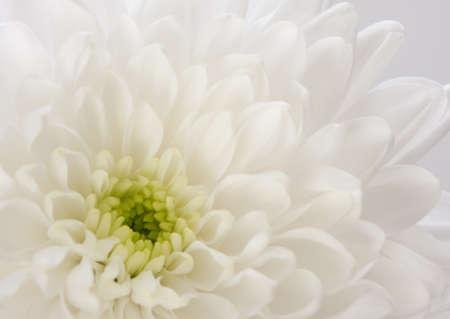 白い菊の花非常に浅い被写し界深度のフラグメント 写真素材