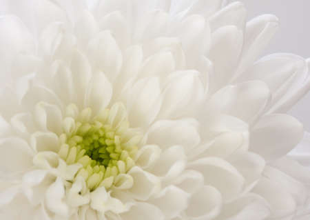 fragment of  white Chrysanthemum flower  very shallow depth of field