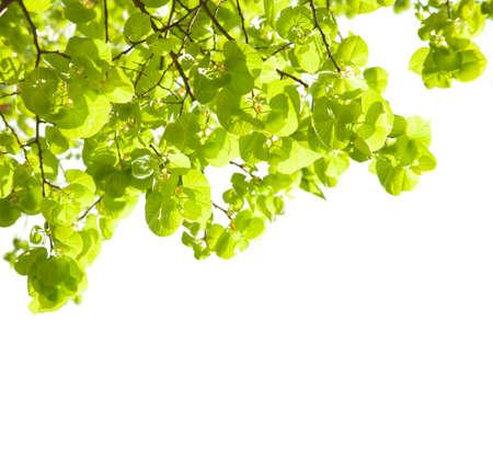tilia: Fresh leaves of Tilia  isolated on white background