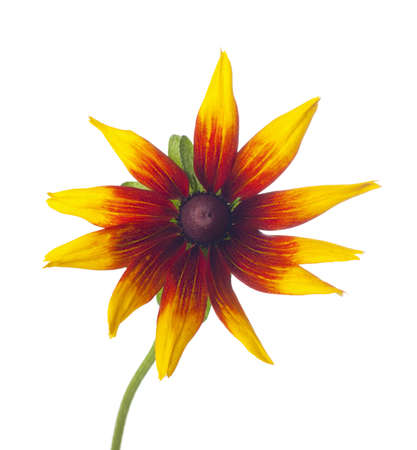 Black-eyed Susan  Rudbeckia   isolated on a white background  photo