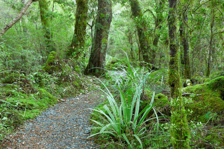 temperate: Temperate rain forest, Fiordland National Park, South Island, New Zealand Track - Lake Gunn Nature Walk