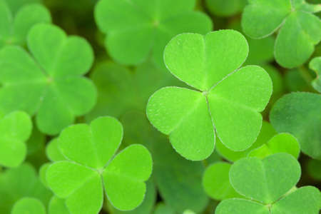 three leaved: green  background with three-leaved shamrocks Stock Photo