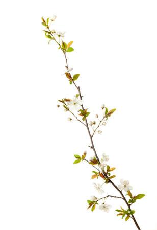 花は白で隔離の桜 写真素材
