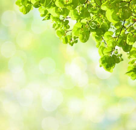 tilia: Fresh green leaves of Tilia   Lime Trees  in spring