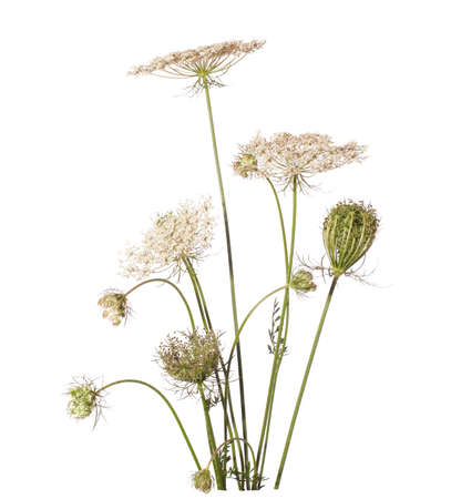 queen anne   s lace: Bouquet of wildflowers isolated on white background  Daucus carota  wild carrot  -  - plant of Carrot Family  Stock Photo