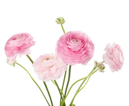 白いラナンキュラスに分離された光のピンクの花