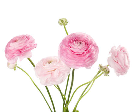 Light pink flowers isolated on white  Ranunculus photo