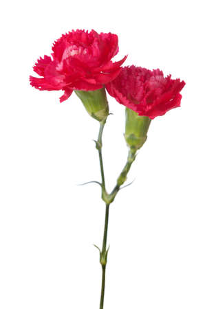 Two carnations  isolated on white background