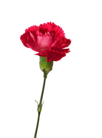 Carnation flower isolated on white background  Shallow depth of field  Focus on the center of flower Stock Photo