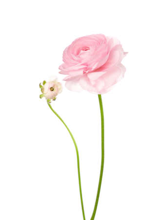 Ranunculus isolated on white